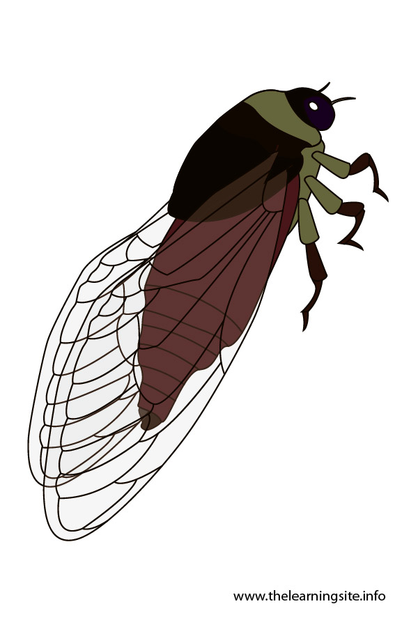 flashcard-insects-cicada-01