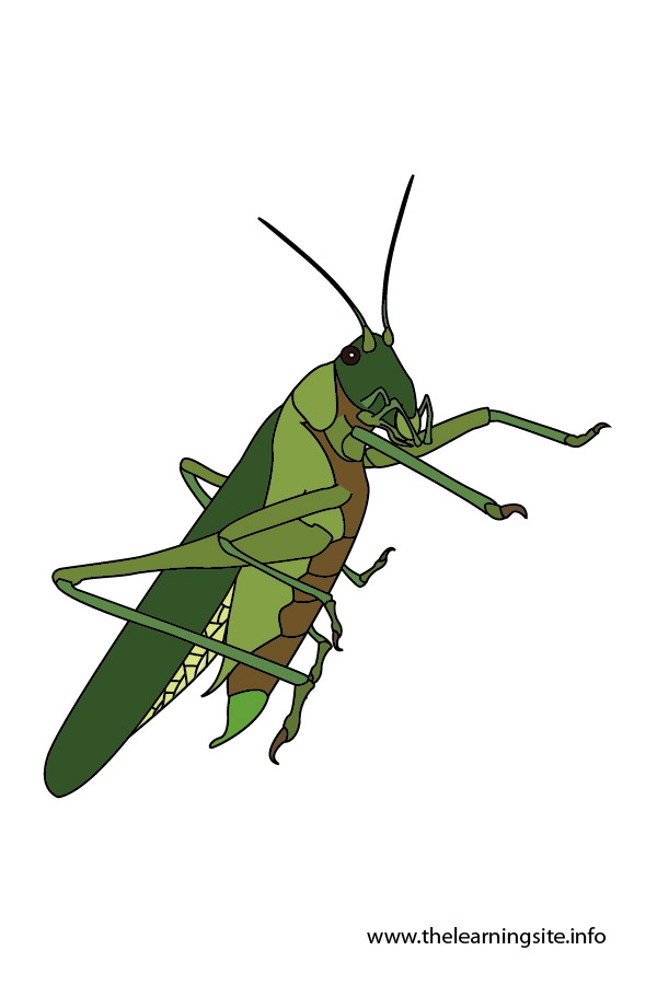 flashcard-insects-grasshopper-01