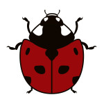 flashcard-insects-ladybug-01